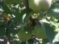 μήλα μάννας